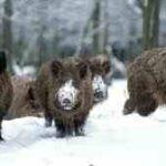 Πόσα γουρούνια μπορεί να περάσουν μπροστά από ένα καρτέρι;.....VIDEO