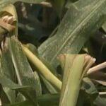 Διέλυσαν τα πάντα τα αγριογούρουνα στην Καλαμπάκα...VIDEO