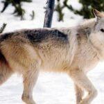 Κυνήγι λύκου στον Καναδά...VIDEO