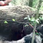 Εντυπωσιακές τουφεκιές σε κυνήγια αγριόχοιρου στην Ισπανία...VIDEO