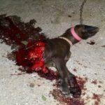 Επίθεση λύκου σε κυνηγόσκυλο μέσα στην αυλή του σπιτιού