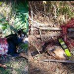 Μαζι με την έναρξη του κυνηγιού αυξήθηκαν και οι επιθέσεις λύκων σε κυνηγόσκυλα
