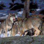 Αγέλη λύκων εντόπισε κυνηγός στο Πετρωτό Τρικάλων