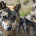 Διδυμότειχο: Επιθέσεις από λύκους σε κυνηγόσκυλα