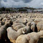 Αύξηση των λύκων : Εκατοντάδες πρόβατα στους δρόμους της Λυών ...VIDEO