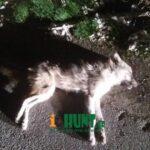 Τροχαίο με λύκο λίγο έξω από την πόλη της Δράμας