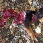 Δολοφονική επιθεση λύκων σε κυνηγόσκυλο στο Ανατολικό Ζαγόρι