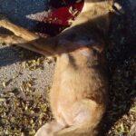 Τροχαίο με λύκο στο Δρυμό Θεσσαλονίκης