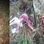Ακόμη τρία περιστατικά επίθεσης λύκων σε κυνηγόσκυλα