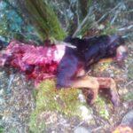 Νέα θανατηφόρα επίθεση λύκου στην Πέλλα