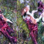 Διπλό κρούσμα θανατηφόρας επίθεσης λύκων σε κυνηγόσκυλα στη Ναυπακτία