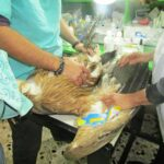 Διάσωση δακτυλιωμένου γύπα από τη θηροφυλακή της Δ' ΚΟΣΕ