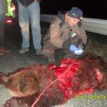 Δεύτερο τροχαίο με αρκούδα στο ίδιο σημείο μέσα σε 24 ώρες