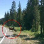 Αρκούδα κατασπαράζει αγελάδα! Βίντεο που σοκάρει!