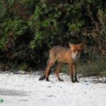 Παράταση του χρόνου προγράμματος ενεργητικής επιτήρησης της λύσσας