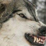 Τα επιχειρήματα των ΜΚΟ για τους λύκους ως δείκτης της επαφή τους με την πραγματικότητα