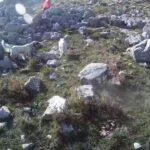Ωραίο στιγμιότυπο από κυνήγι ορεινής πέρδικας....VIDEO