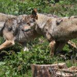 Έως και 40 λύκοι μπορούν να θηρευτούν στη Γαλλία φέτος