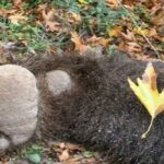 Νεκρή αρκούδα έπειτα από τροχαίο