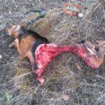 Φλώρινα: Νέα θανατηφόρα επίθεση σε κυνηγόσκυλο