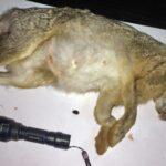 Συλλήψεις για νυχτερινή θήρα λαγού στο Γεράνι Ρεθύμνου