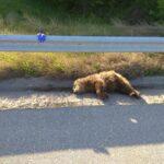 Νέο τροχαίο με αρκούδα