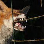 Στις 17 Μαίου ξεκινάει το πρόγραμμα ενεργητικής επιτήρησης της λύσσας