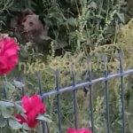 Αρκούδα γέννησε δυο αρκουδάκια σε αυλή σπιτιού στη Φλώρινα!