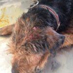 Δολοφονική επίθεση λύκων σε τρία κυνηγόσκυλα στην Καβάλα