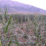 Απελπισία προκαλούν τα αγριογούρουνα στην Πηνειάδα