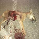 Νέο τροχαίο με θύμα λύκο λίγο έξω από την πόλη της Δράμας