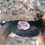 Νέα θανατηφόρα επίθεση λύκου σε γουρουνόσκυλο  στην Κοζάνη