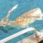"""Ψαράς """"Έπιασε""""...Ελάφι Στη Θάλασσα...VIDEO"""