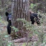 ΚΑΝΑΔΑΣ : Επίθεση από αρκούδα δέχθηκε  κυνηγός...VIDEO