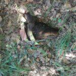 Δολοφονική επίθεση λύκων σε κυνηγόσκυλο στα Γρεβενά