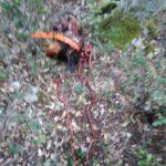 Τρια κυνηγόσκυλα θύματα της μανίας των λύκων στη Δράμα
