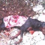 Θανατηφόρα επίθεση λύκου σε κυνηγόσκυλο στα Λεύκτρα