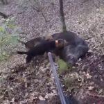 Τουφεκιά σε καπρί στο Τσοτύλι....VIDEO