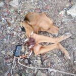 Δολοφονική επίθεση λύκων σε κυνηγόσκυλο στην Κομοτηνή