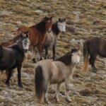 Οι Λύκοι Απειλούν Τα Άγρια Άλογα Των Βουνών Του Σουλίου