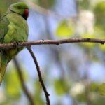 Ανησυχεί η Ορνιθολογική για την αύξηση του πληθυσμού των παπαγάλων