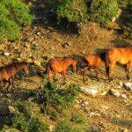 Aγνωστοι σκότωσαν άγρια άλογα στη Στράτο