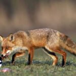 Παράταση προγράμματος ενεργητικής επιτήρησης της Λύσσας