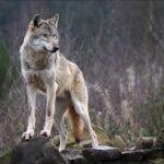 Η επιστροφή των λύκων διχάζει τη Γερμανία