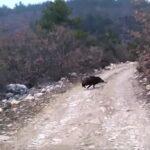 Δυο γρήγορες κοντινές τουφεκιές σε κυνήγι αγριόχοιρου....VIDEO