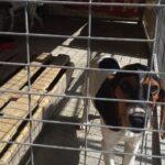 Διαστάσεις επιδημίας φαίνεται να έχει πάρει και στην Κύπρο η κλοπή σκύλων