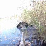 Τουφεκιές σε κυνήγι αγριόχοιρου σε βάλτο....VIDEO