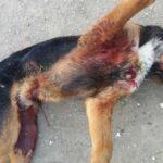Δολοφονική επίθεση σε γουρουνόσκυλο στην Ξάνθη