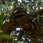 Κοίταξε το ελαιόδεντρο και είδε να κρέμεται αυτό το τεράστιο φίδι των 3 μέτρων!