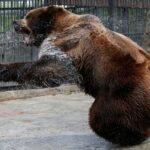 Αρκούδα κρατούσε άνδρα για 30 μέρες στη φωλιά της....VIDEO